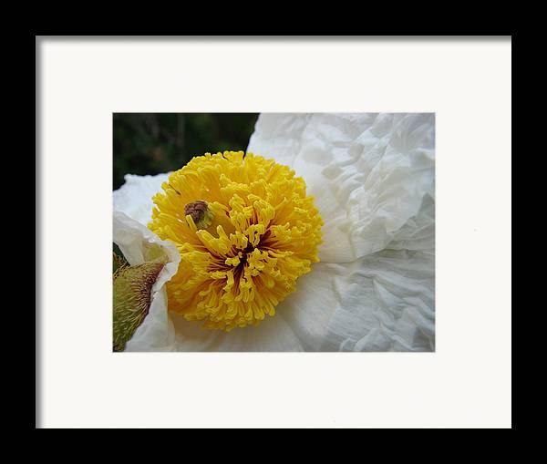 Flower Framed Print featuring the photograph Matilija Poppy by Liz Vernand