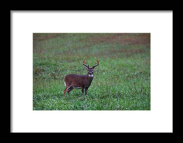 Whitetail Framed Print featuring the photograph Mature Whitetail Buck by James Jones