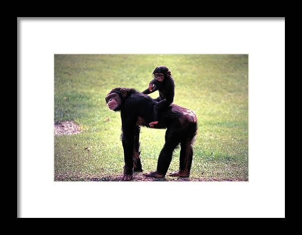 Chimpanzee Framed Print featuring the photograph Maybe Darwin Was Right by Carl Purcell