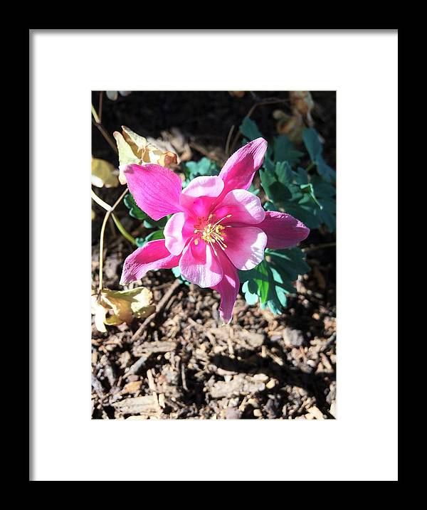 Flowers Framed Print featuring the photograph Meadow Columbine by Jennifer Thomas
