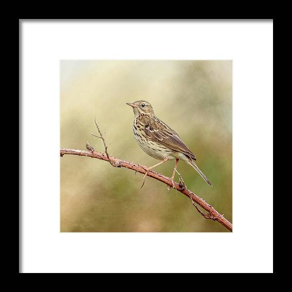 Meadow Pipit Framed Print featuring the photograph Meadow Pipit by Roy McPeak