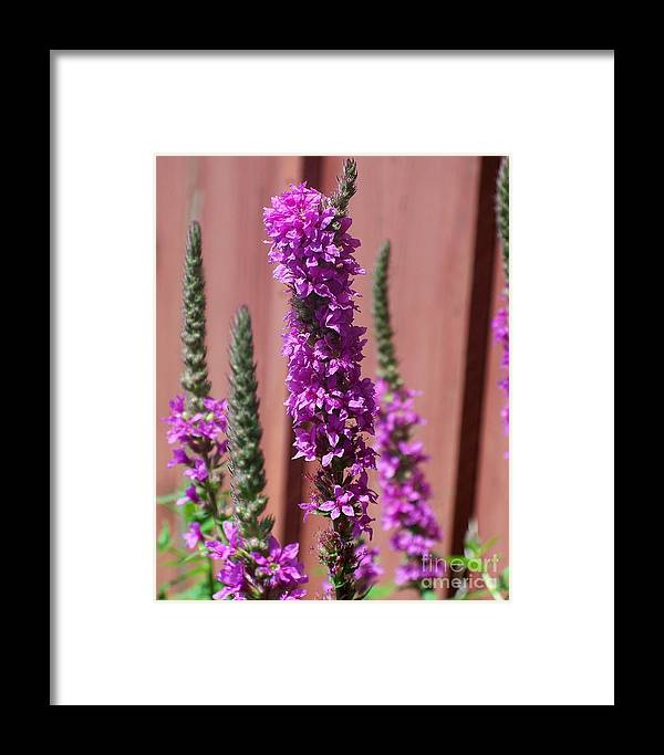 Meadow Sage Framed Print featuring the photograph Meadow Sage Close Up by Emily Kelley