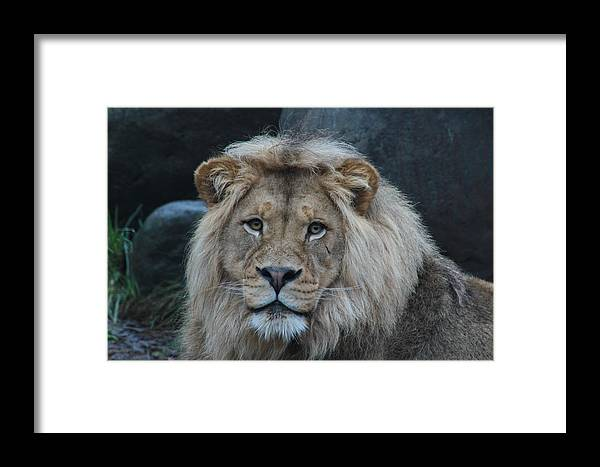Lion Framed Print featuring the photograph Meal Time by Laddie Halupa