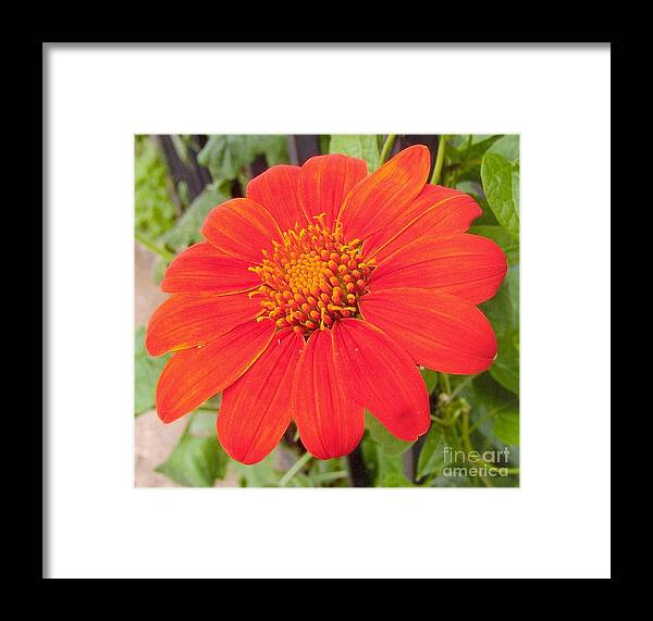 Light Orange Framed Print featuring the photograph Medium Orange Daliha by Rod Ismay