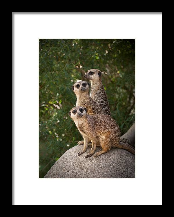 Meerkat Framed Print featuring the photograph Meerkat Hill by Chad Davis