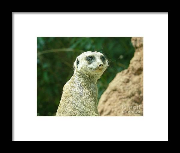 Photography Animals Zoo Meerkat Wildlife Mammals Framed Print featuring the photograph Meerkat by Loretta Orr