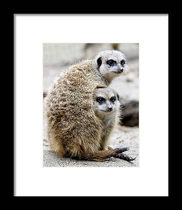 Animals Framed Print featuring the photograph Meerkats by Jerry Weinstein