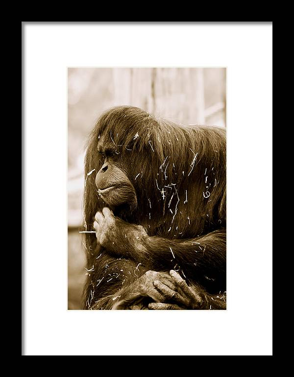 Orangutan Framed Print featuring the photograph Melancholy by Lesley Smitheringale