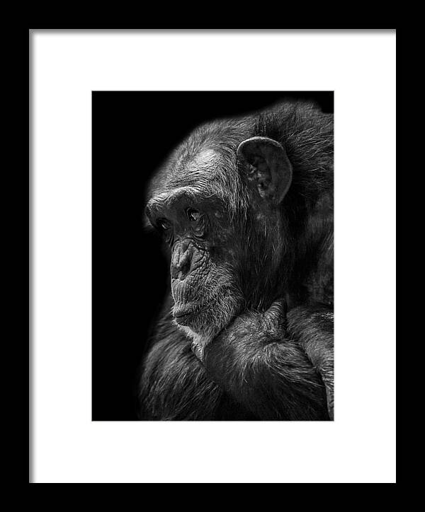 Chimpanzee Framed Print featuring the photograph Melancholy by Paul Neville