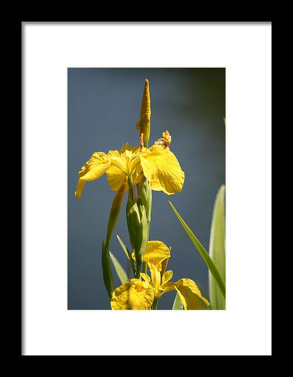 Iris Framed Print featuring the painting Mello Yellow - Floral Yellow Iris 3 by Melodie Douglas