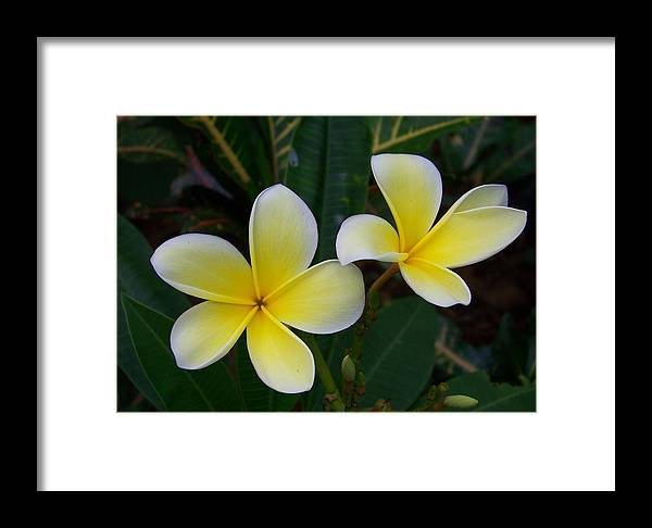Flowers Framed Print featuring the photograph Mellow Yellow by Amanda Vouglas