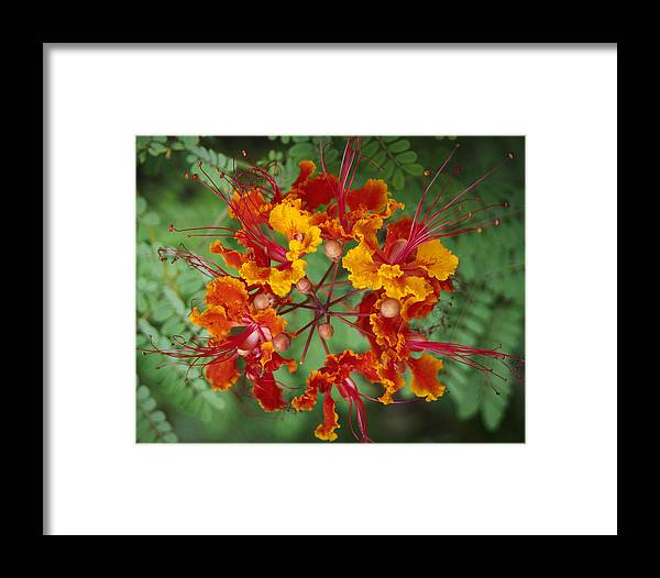 Flowers Framed Print featuring the photograph Mexican Bird Of Paradise by Kelley King