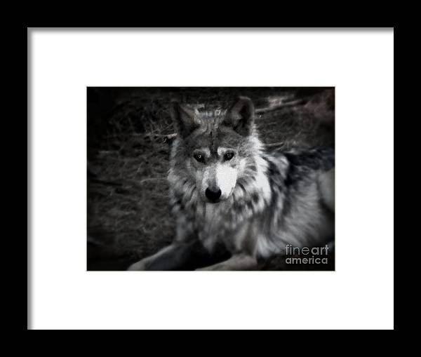 Black And White Framed Print featuring the photograph Mexican Gray Wolf by Emily Kelley