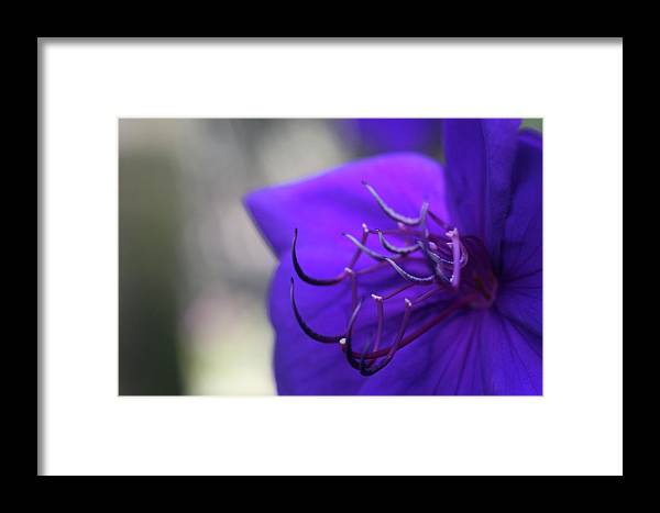 Close-up Photo Photography Flower Plant Purple Mexican Petunia Framed Print featuring the photograph Mexican Petunia by Christina Geiger
