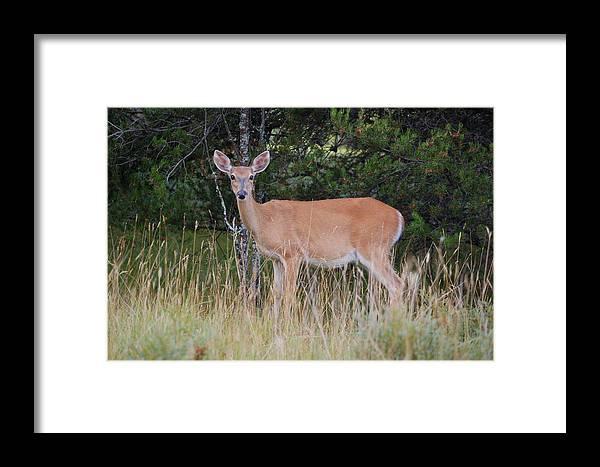 Deer Framed Print featuring the photograph Michigan Whitetail Doe by Jennifer Englehardt