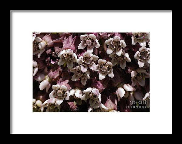 Milkweed Framed Print featuring the photograph Milkweed Florets by Randy Bodkins