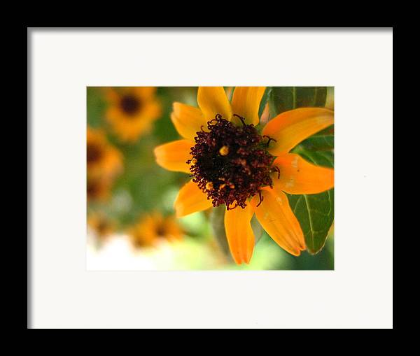Flower Framed Print featuring the photograph Mini Sunflower by Melissa Parks