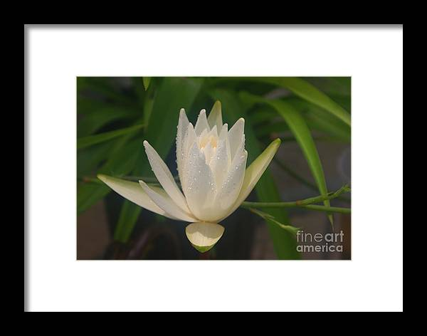Lilly Framed Print featuring the photograph Misty Morning Pond Lilly by Debbie May