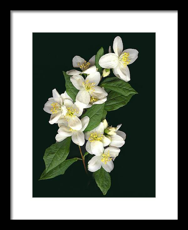 White Flowers Framed Print featuring the photograph Mock Orange by Sandi F Hutchins