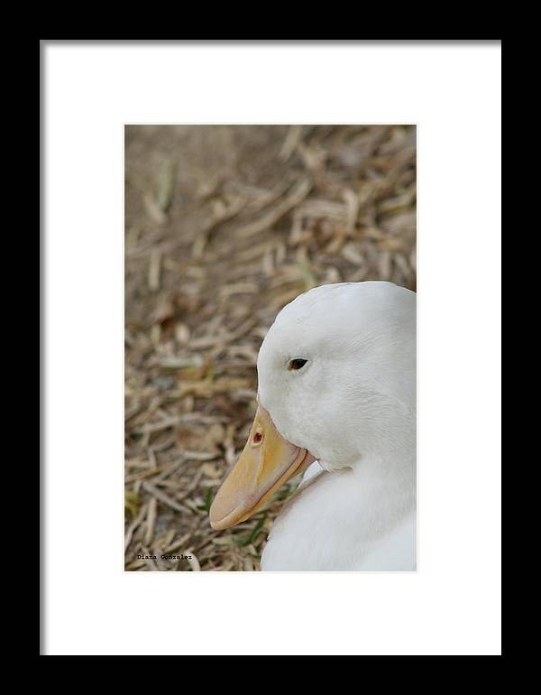 Duck Framed Print featuring the photograph Modest by Diana Gonzalez