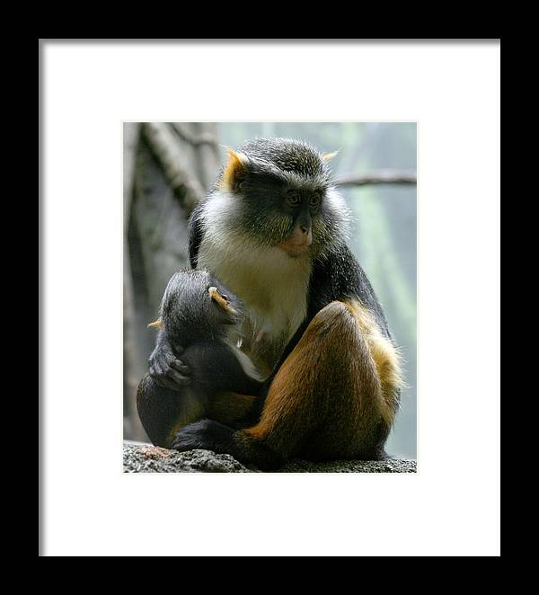 Monkey Framed Print featuring the photograph Momma by Jason Hochman