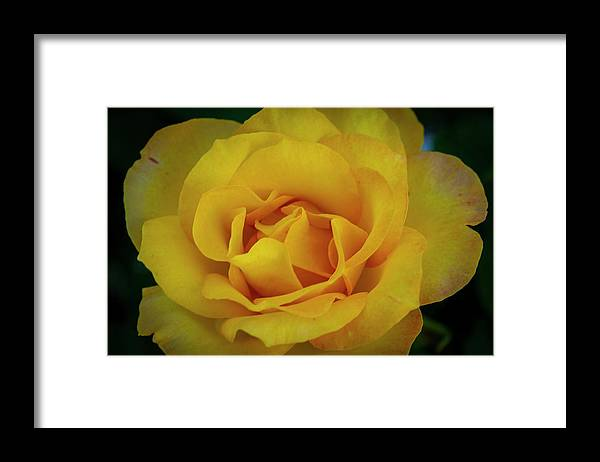 Yellow Rose Framed Print featuring the photograph Moms Yellow Rose by Dan Kinghorn