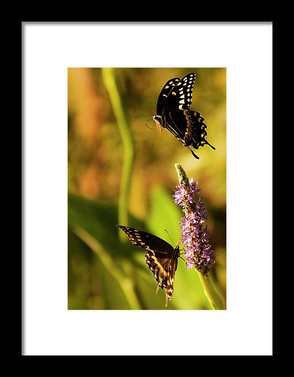 Monarch Butterflies Framed Print featuring the photograph Monarch Butterflies In Spring At Wakulla Springs by Frank Feliciano