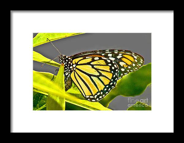Butterfly Framed Print featuring the photograph Monarch Butterfly by Allan Einhorn
