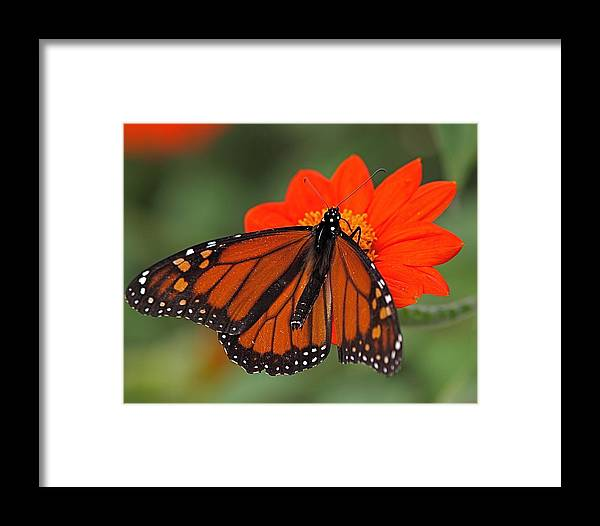 Butterfly Framed Print featuring the photograph Monarch Butterfly by Peter Gray