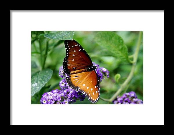 Botany Framed Print featuring the photograph Monarch Butterfly by Sonja Anderson
