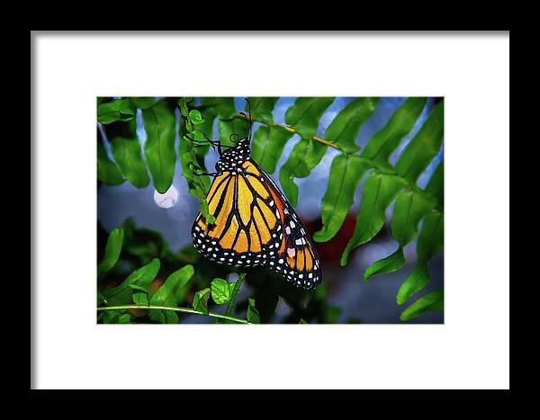 Hanging Framed Print featuring the photograph Monarch Feeding by Garry Gay