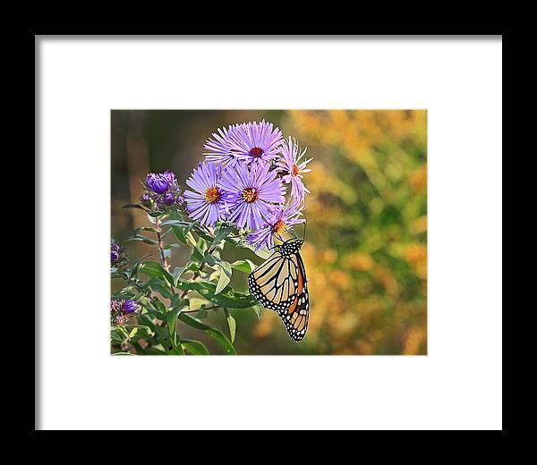 Monarch Butterflys. Flowers.. Floral. Paradoxa. Comcos. Water. Garden. Mixed Media. Mixed Media Butterfly. Mixed Mediabutterfly Photography. Butterfly Greeting Cards. Fine Ar Greeting Cards. Monarch Butterfly Greeting Cards. Framed Print featuring the photograph Monarch Feeding by James Steele
