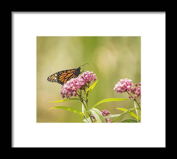 Monarch Butterfly Framed Print featuring the photograph Monarch On Swamp Milkweed 2014-1 by Thomas Young
