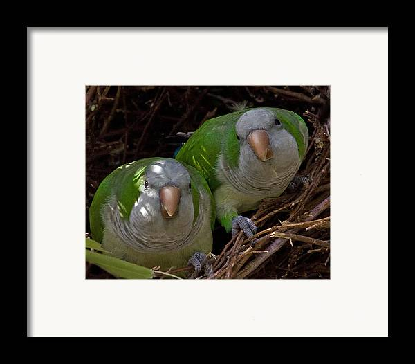 Monk Parakeet Framed Print featuring the photograph Monk Parakeet Pair by Larry Linton