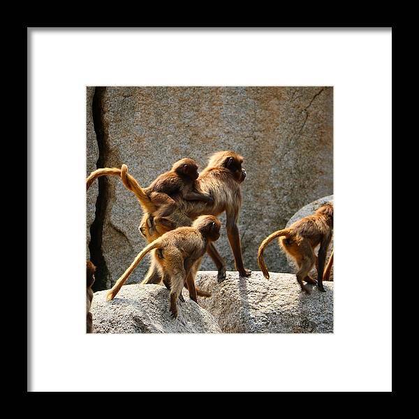Animal Framed Print featuring the photograph Monkey Family by Dennis Maier