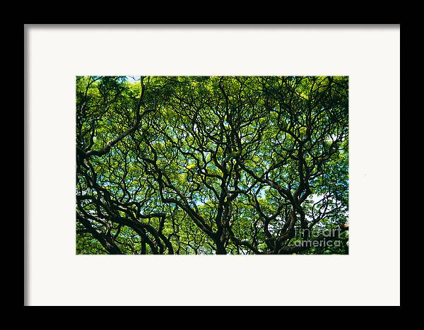 Afternoon Framed Print featuring the photograph Monkeypod Canopy by Peter French - Printscapes