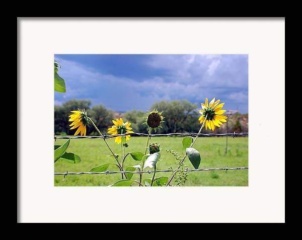 Photography Framed Print featuring the photograph Monsoon Sunflowers by Heather S Huston