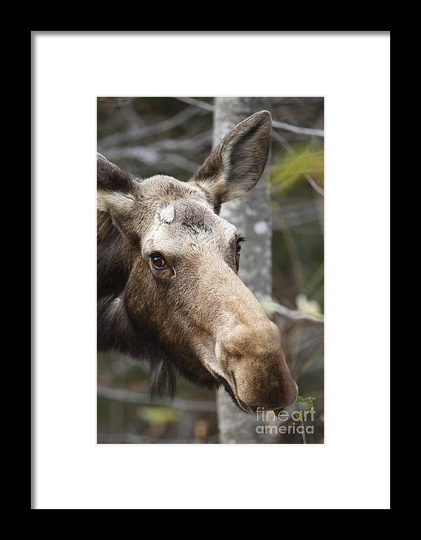 Mountain Framed Print featuring the photograph Moose - White Mountains New Hampshire Usa by Erin Paul Donovan