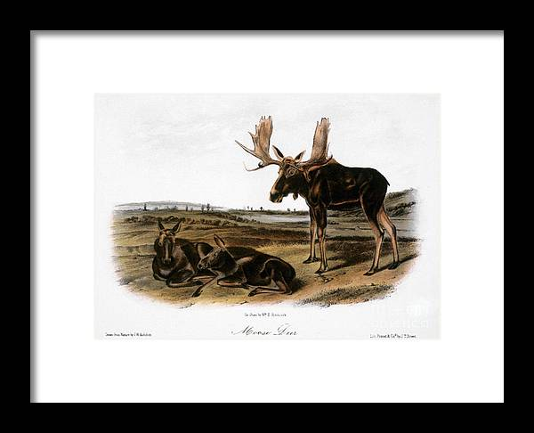 1846 Framed Print featuring the photograph Moose Deer (cervus Alces) by Granger