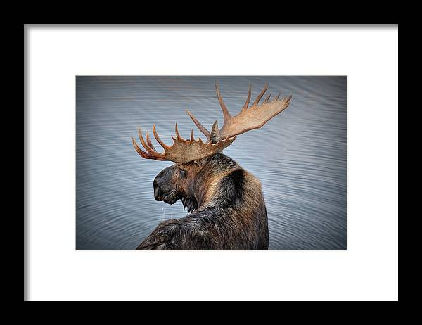 Moose Framed Print featuring the photograph Moose Drool by Ryan Smith