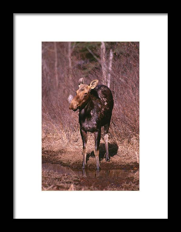 Moose Framed Print featuring the photograph Moose by Ken Maher