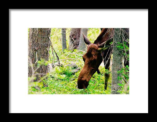Framed Print featuring the photograph Moose Munching by Matthew Justis