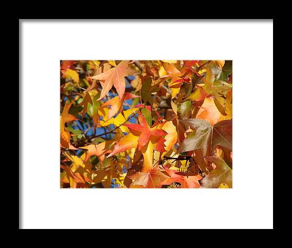 Autum Leaves Framed Print featuring the photograph More Autum Leaves by Liz Vernand