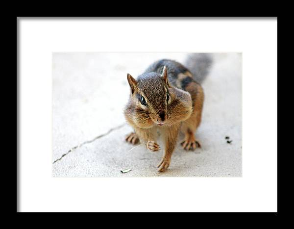 Chipmunk Framed Print featuring the photograph More Nuts Please by Alexandra Nielsen