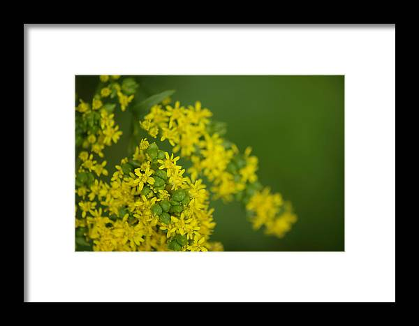 Bluestone Wild Forest Framed Print featuring the photograph More Yellow by Joan D Squared Photography