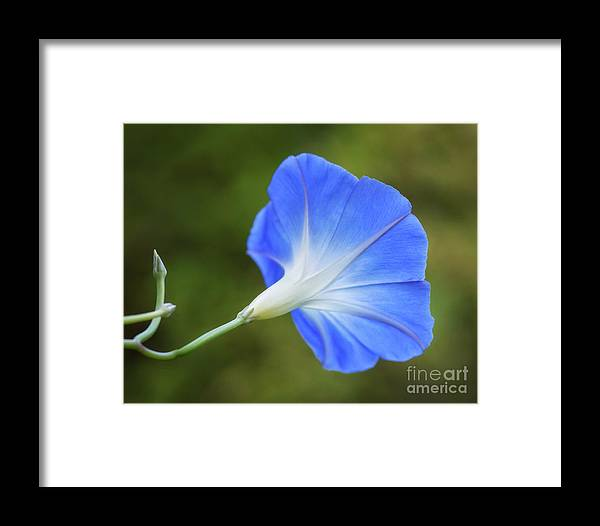 Flower Framed Print featuring the photograph Morning Blues by Claudia Kuhn