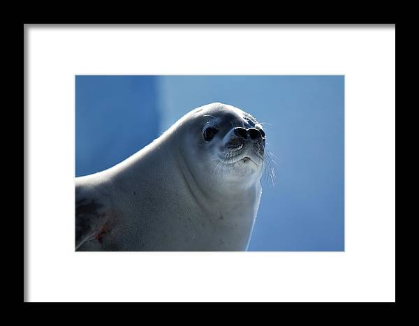 Seal Framed Print featuring the photograph Morning by Chris Hanlon