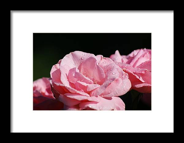 Roses Framed Print featuring the pyrography Morning Dew by Terry Hoss
