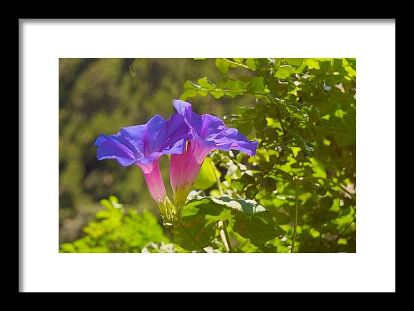 Morning Glory Framed Print featuring the photograph Morning Glory I by Susan Heller