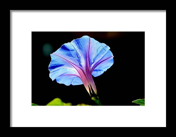 Morning Glory Framed Print featuring the photograph Morning Glory by Kerry Reed